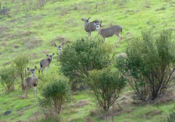 Herd of deer at Windy Hill Open Space Preserve