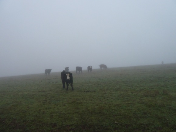 cattle on Big Dish land, January 2011
