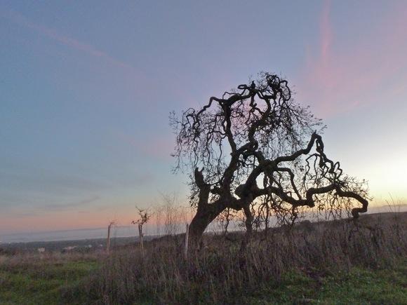 oak near Big Dish