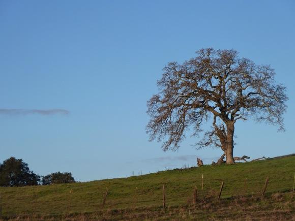 barren oak near Big Dish