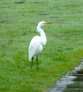 Snowy egret on Big Dish land