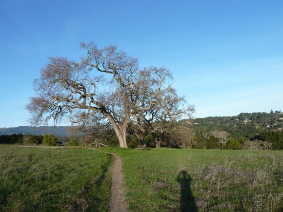 Oak against blue winter sky in Arastradero Preserve