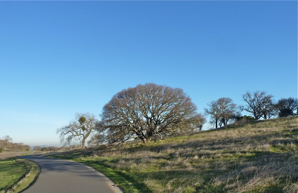 Oaks in February near Big Dish
