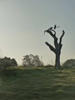 Crows on dead tree near Big Dish