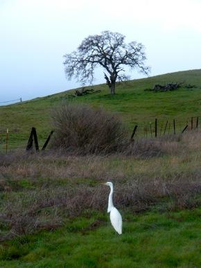 Snowy egret near Big Dish