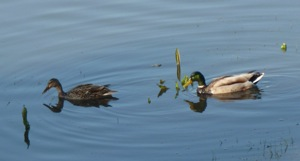 Mallard ducks at Lake Lagunita