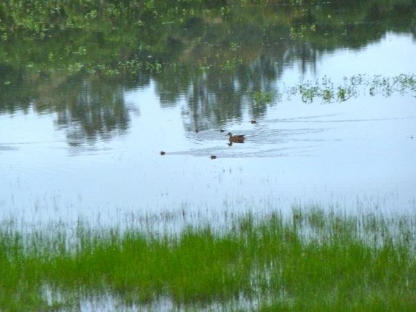 ducklings at Lake Lagunita