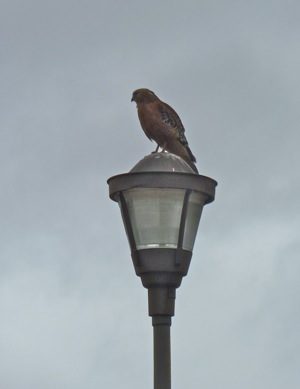 hawk at Lake Lagunita