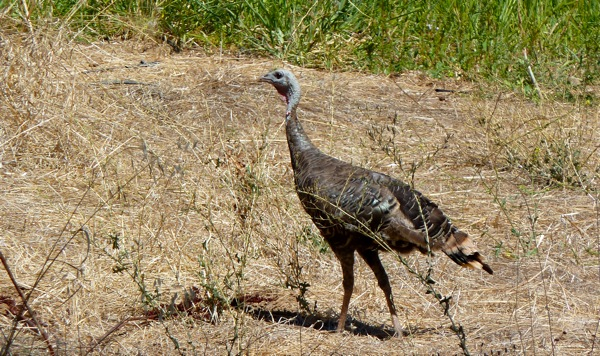 turkey spotted on the Stanford campus