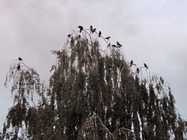 crows in Menlo Park