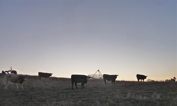 cattle herd at Big Dish